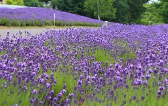 lavender_sapporo